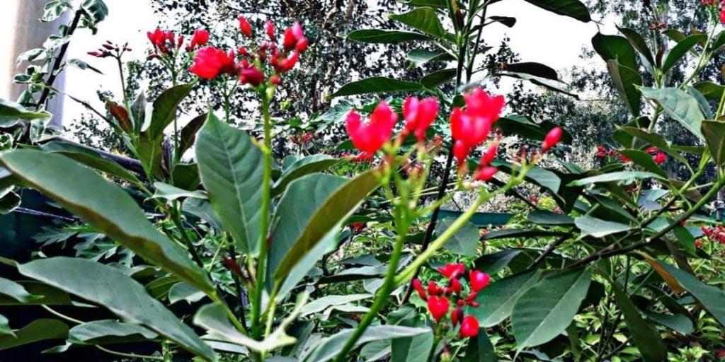 Jatropha - Cette plante produit le carburant et chasse les moustiques